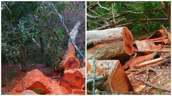 Đắk Lắk: Táo tợn phá rừng Vườn Quốc Gia trên vành đai biên giới