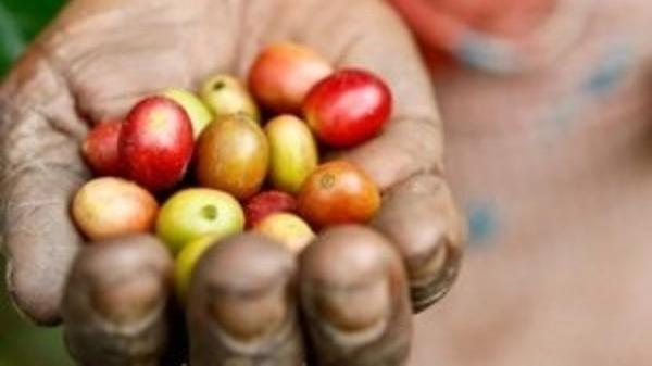 Giá cà phê trong nước tăng theo đà của thị trường thế giới
