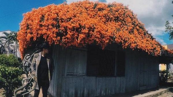 Ngôi nhà phủ kín hoa màu cam trên mái khiến dân tình 'phát sốt' ở Tây Nguyên