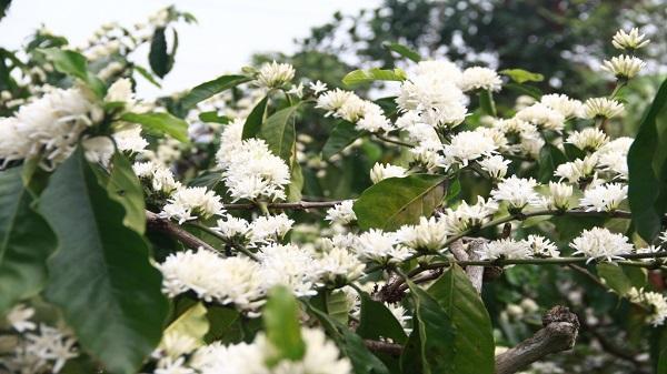 Thương nhớ mùa hoa cà phê ở Tây Nguyên