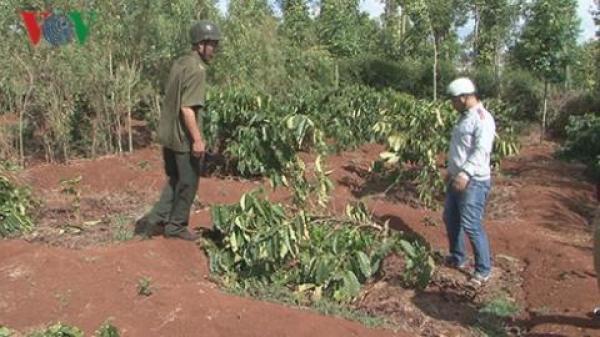 Đắk Lắk: Vườn cà phê đang ra hoa bị chặt đứt lìa thân