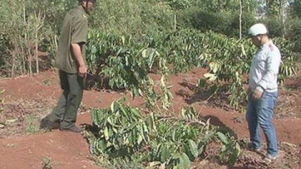 Phá vườn cà phê đang ra hoa ở Đắk Lắk: Lắp camera sợ trả thù?