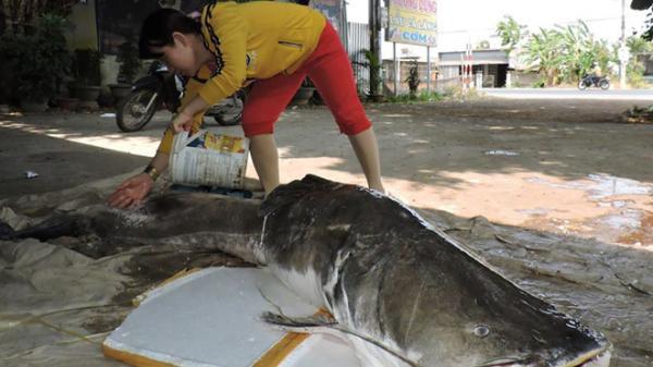 Đắk Lắk: Câu được 2 con cá lăng đuôi đỏ hơn 100 kg trên sông Sêrêpốk