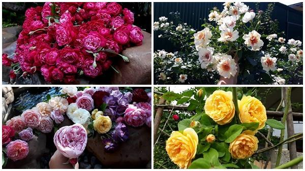 Vườn hồng leo triệu bông rực rỡ khoe hương sắc quanh năm ở Đắk Lắk