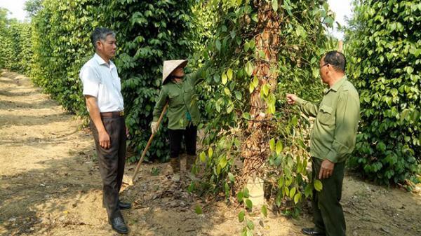 """Nông dân Ea Lai """"mất ăn mất ngủ"""" vì hồ tiêu chết hàng loạt"""