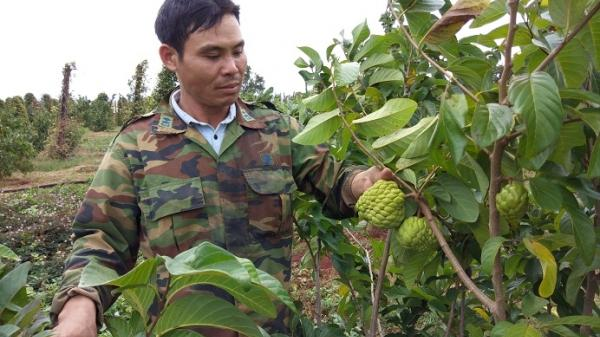 Người dân phá cà phê, tiêu để trồng giống cây 'lạ' để thử vận may đổi đời