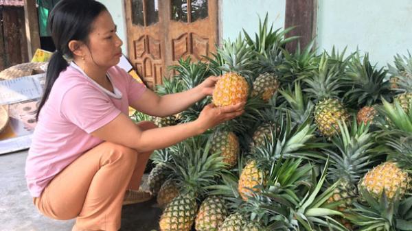 Đắk Lắk: Nông dân xã Cư Đrăm phấn khởi được mùa dứa