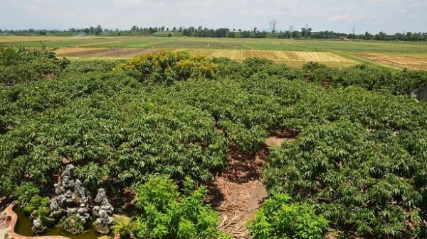 Thu nhập gần một tỷ đồng từ cây vải thiều trên đất Tây Nguyên