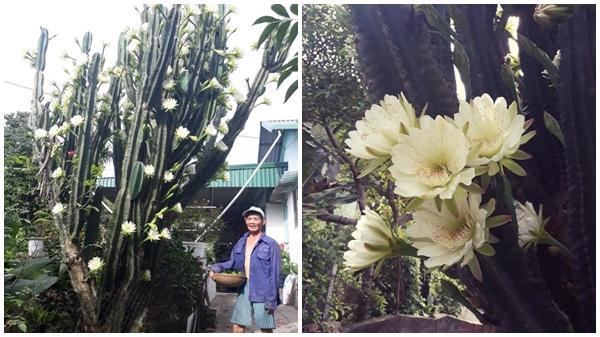Chuyện hiếm thấy: Vườn xương rồng 30 năm nở hoa trắng muốt hút 'triệu' like