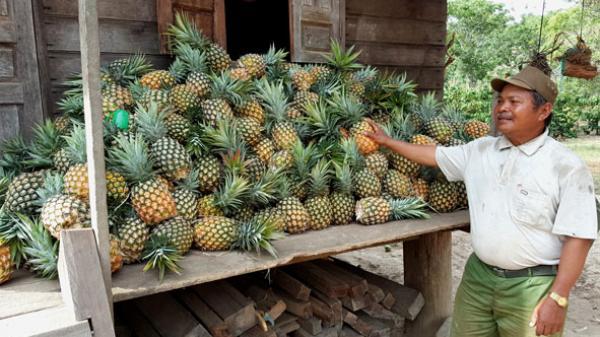 Nông dân Krông Bông lo lắng vì giá dứa giảm mạnh