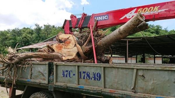 Tự ý cắt gỗ tang vật, Kiểm lâm phải xin thoả thuận sửa sai!