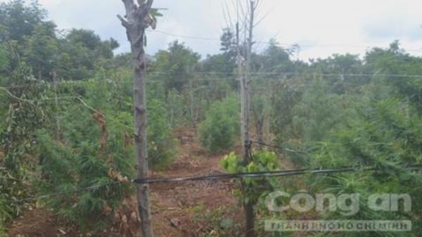 Đắk Lắk: Phát hiện vườn cần sa ngút ngàn rộng 2.500m2