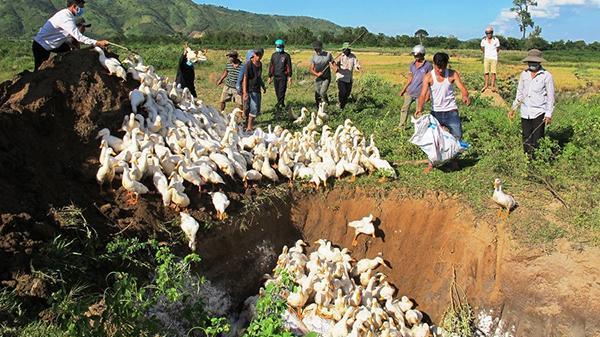 Đắk Lắk: Tiêu hủy hàng ngàn con vịt bị dịch cúm gia cầm A H5N6