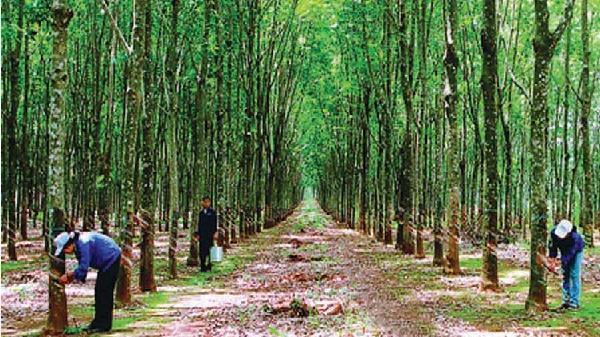Phát triển bền vững cây cao su vùng Tây Nguyên