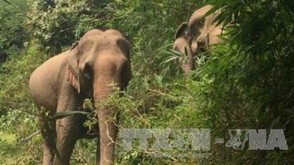Buôn Đôn: Voi rừng liên tục tấn công voi nhà