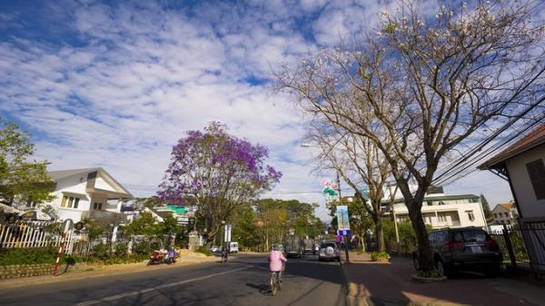 Tháng 3, mùa phượng tím xao xuyến nở rộ khắp phố phường Đà Lạt