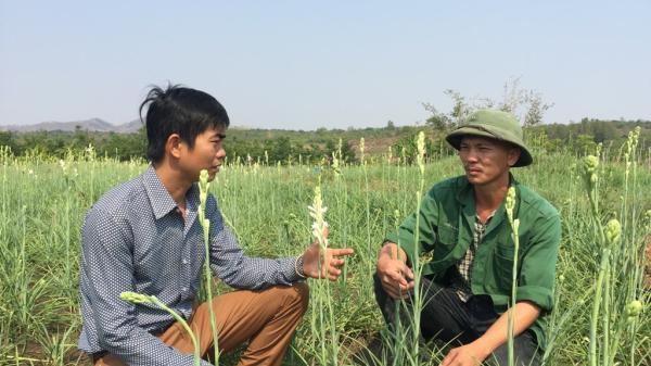 Đắk Lắk: 9x đa tài trồng hoa huệ trên đất lúa kiếm trăm triệu đều đều mỗi năm