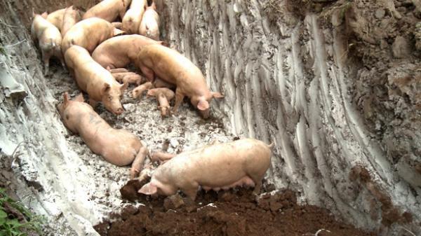 CẢNH BÁO: Nguy cơ bùng phát bệnh dịc.h t.ả lợn Châu Phi ở Lâm Đồng
