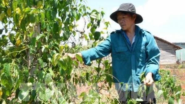 Đắk Lắk: Tiếng khóc nghẹn lòng của người trồng sachi khi giá xuống thấp đỉnh điểm