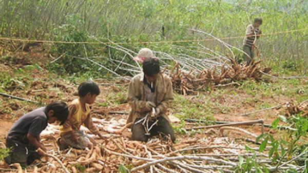 Đắk Lắk: Giá sắn thấp cùng cực, người dân biết than cùng ai