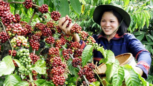 Người dân vui mừng khôn xiết trước tin giá cafe Đắk Lắk tăng cao vọt so với các tỉnh khác
