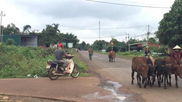 Đắk Lắk: Ta.i n.ạn giao thông gia tăng vì người dân chăn nuôi gia súc thả rông bừa bãi