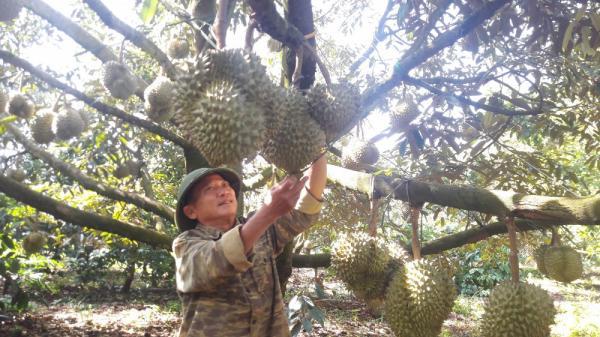 Lâm Đồng: Sầu riêng đầu mùa được giá cao, người dân phấn khởi khôn xiết