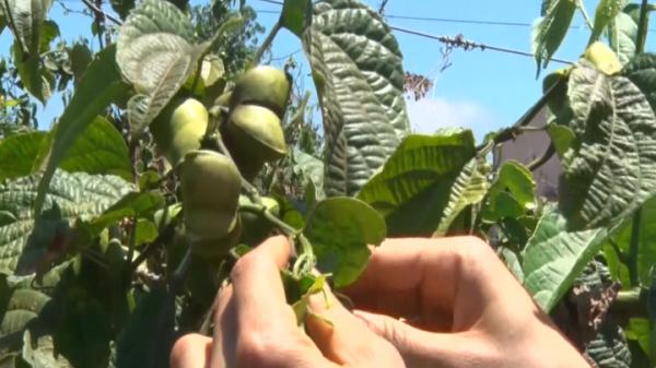 Đắk Lắk: Người dân không nên ồ ạt trồng sachi khi giá sachi ngày càng tụt dốc