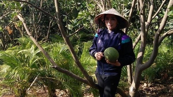 Người trồng bưởi da xanh đầu tiên ở Đắk Lắk thu hơn 1 tỷ đồng/năm