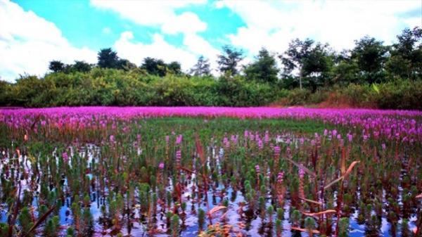 Krông Ana (Đắk Lắk): Cánh đồng hoa tím và truyền thuyết khởi sinh tộc người