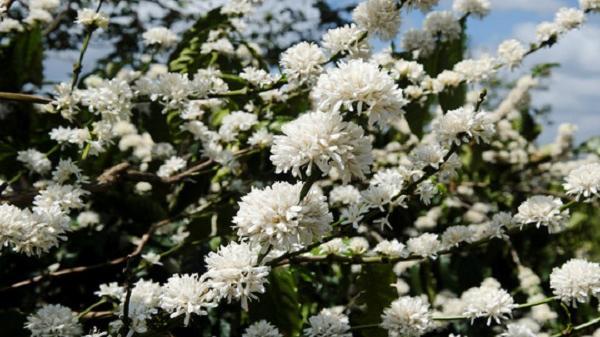 Đẹp ngỡ ngàng mùa hoa cà phê ở Gia Lai