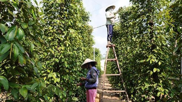 Giá tiêu hôm nay 8/4: Tiếp tục GIẢM tại Đắk Lắk và nhiều nơi, 3 nguyên tắc bán hàng cần thiết cho nông dân