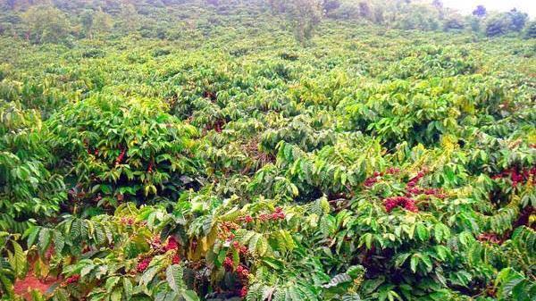 Giá cà phê hôm nay 8/4: Tạm đảo chiều, dòng vốn đang chảy về, giá cà phê có thể được hỗ trợ