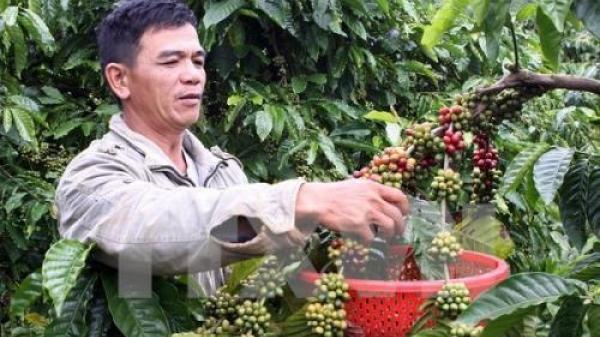 Mưa kéo dài ở Tây Nguyên ảnh hưởng đến việc thu hoạch cà phê