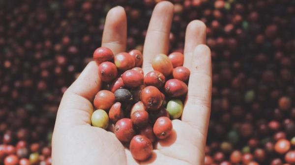 Giá cà phê và tiêu ở các tỉnh Tây Nguyên tiếp tục có chiều hướng giảm