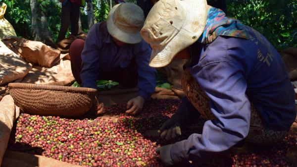 Ngày 10/1/2018: Giá cà phê các tỉnh Tây Nguyên bất ngờ tăng mạnh