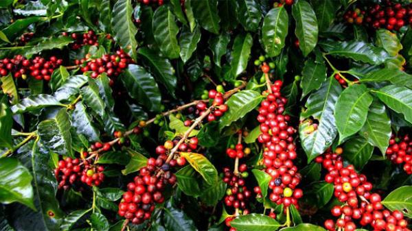 Giá cà phê bật tăng mạnh 800 đồng/kg, giá tiêu vẫn ảm đạm