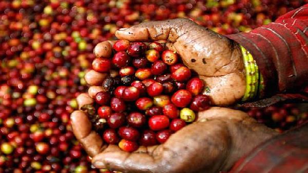 Tây Nguyên: Giá tiêu tiếp tục giảm mạnh, cà phê tăng trở lại
