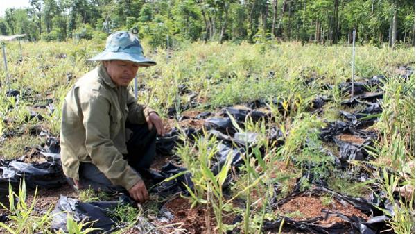 Tây Nguyên: Doanh nghiệp 'phủi tay', bỏ mặc người trồng gừng ôm cục nợ
