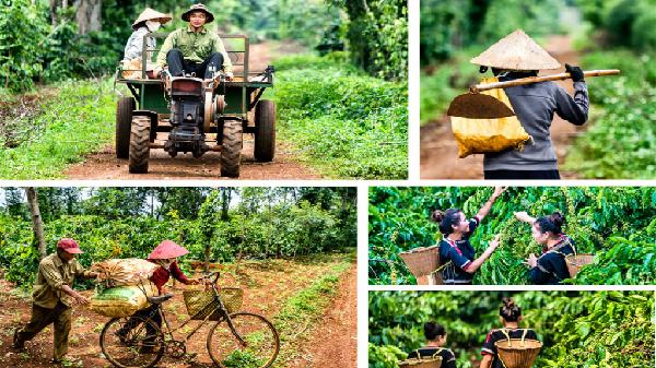 Giá nông sản hôm nay 9/4: Đầu tuần giá cà phê sẽ giảm, giá tiêu khó tăng