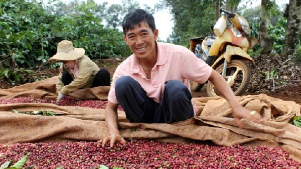 Giá nông sản hôm nay 14/4: Giá cà phê về đáy 36.000 đồng/kg, giá tiêu không đổi