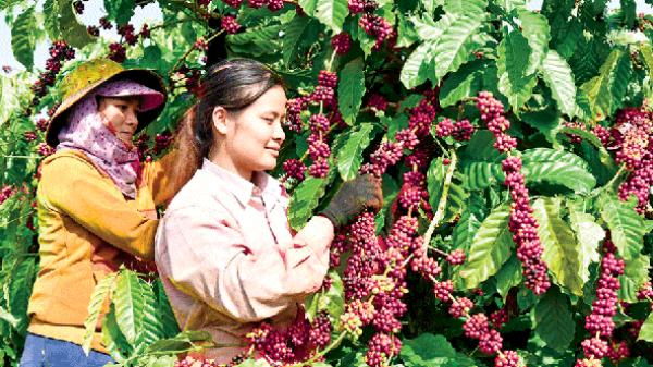 Giá nông sản hôm nay 15/4: Giá tiêu vọt tăng 60.000 đồng/kg, giá cà phê dưới đáy
