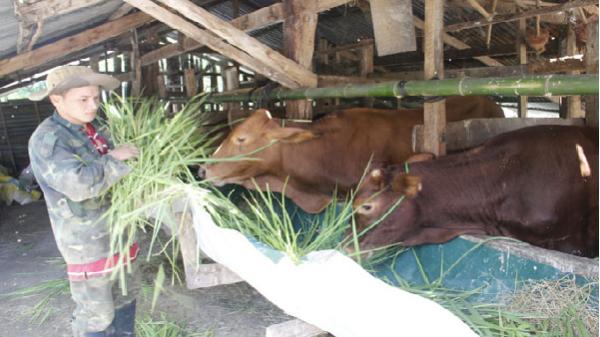 Bò rớt giá, người chăn nuôi bị thương lái o ép