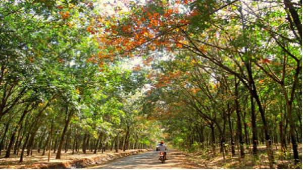 Mơ màng giữa rừng cao su Tây Nguyên mùa đổ lá