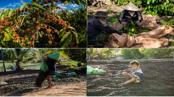 Đến Tây Nguyên mùa thu hoạch cà phê