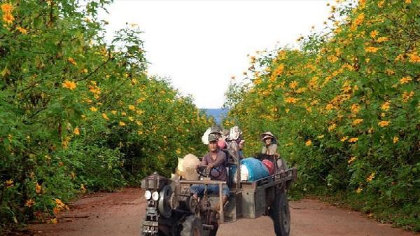 Tây Nguyên quyến rũ với mùa dã quỳ vàng rực