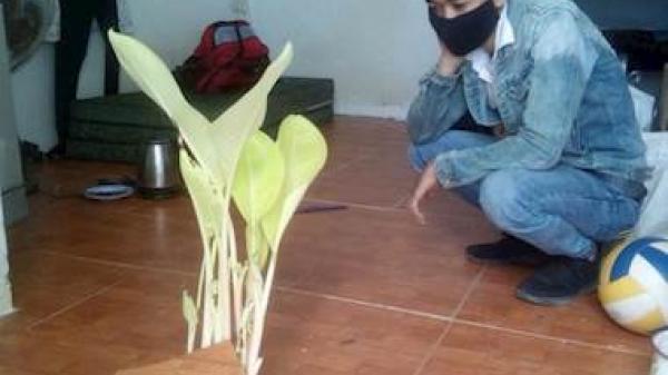 Thanh niên ở Đà Nẵng 'méo mặt' vì chuối mọc trong phòng trọ sau kỳ nghỉ Tết