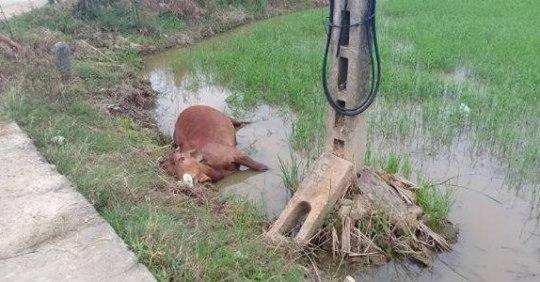 Phú Vang - Huế: Cứu con bò bị điện giật, người đàn ông văng ra xa