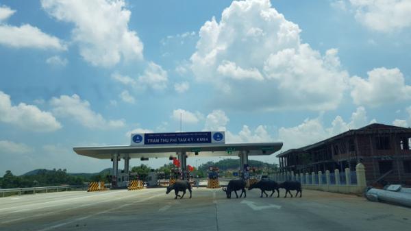 """Ô tô tá hỏa khi """"đụng"""" gia súc thong dong đi trên đường cao tốc Đà Nẵng- Quảng Ngãi"""
