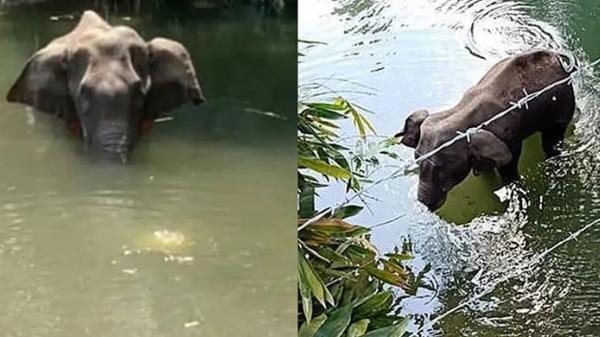 Voi mẹ mang thai bị dân làng lừa cho ăn trái dứa nhồi pháo, chết tức tưởi trong tư thế ngâm mình dưới nước